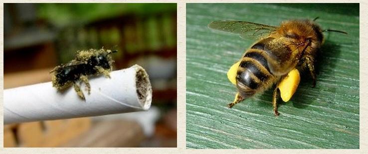 Mason Bee Honey Bee