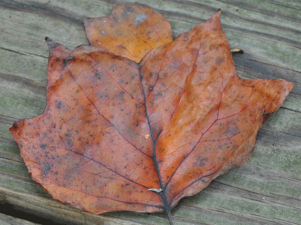 Leaf Mold For Composting