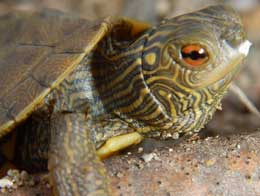 Turtle photo by John Jimmo