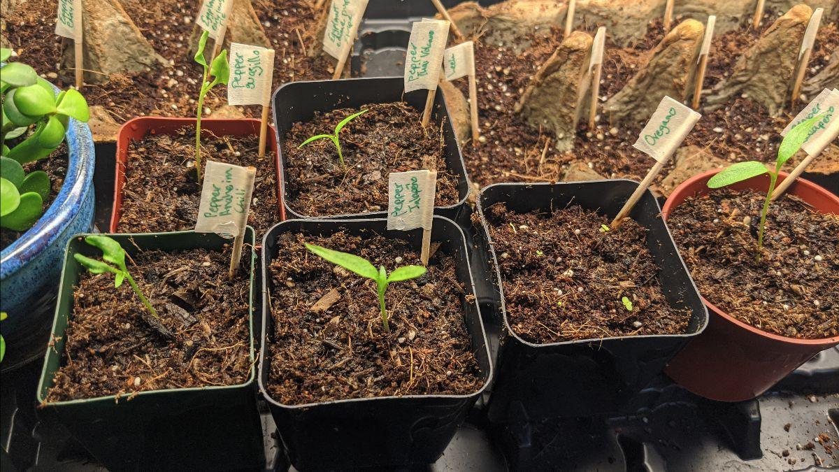Seedlings in my indoor growing area