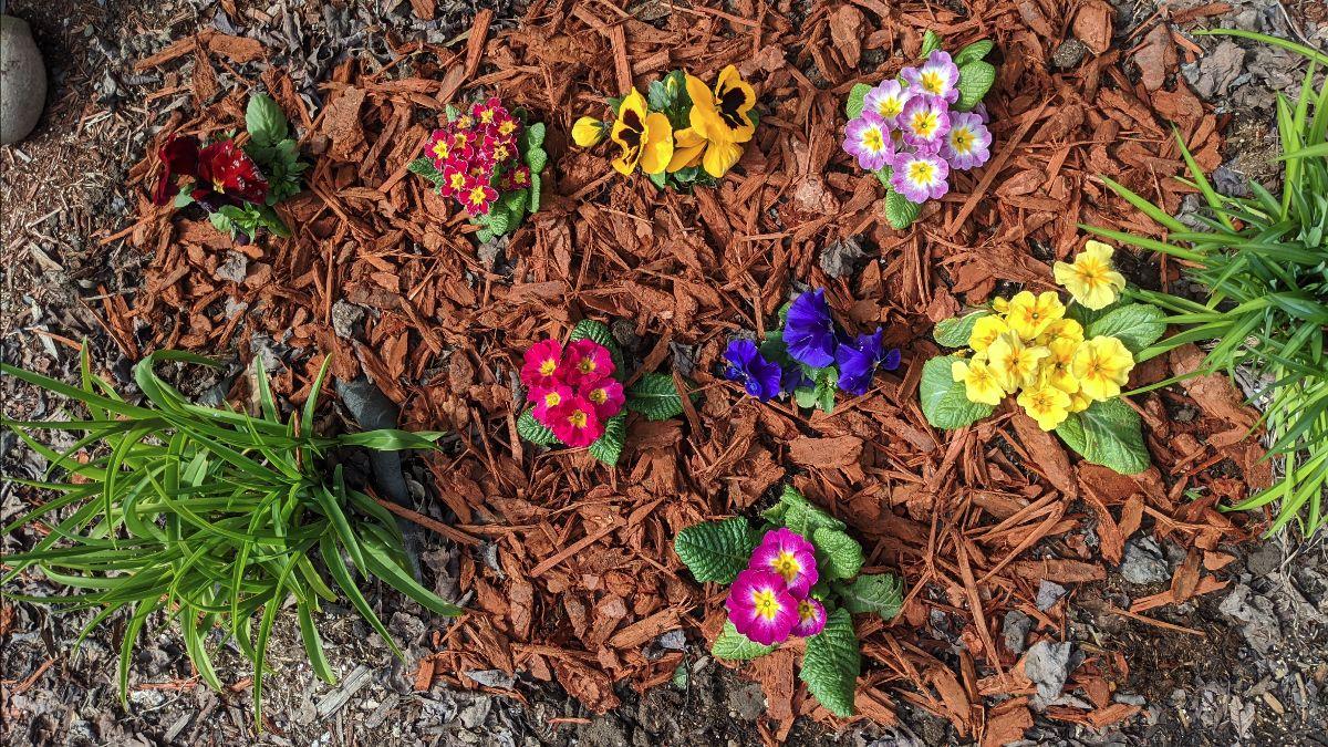 Flowers in my yard: primrose and pansies between day lilies