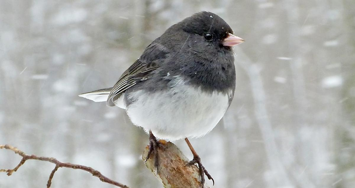 photo of Junco bird