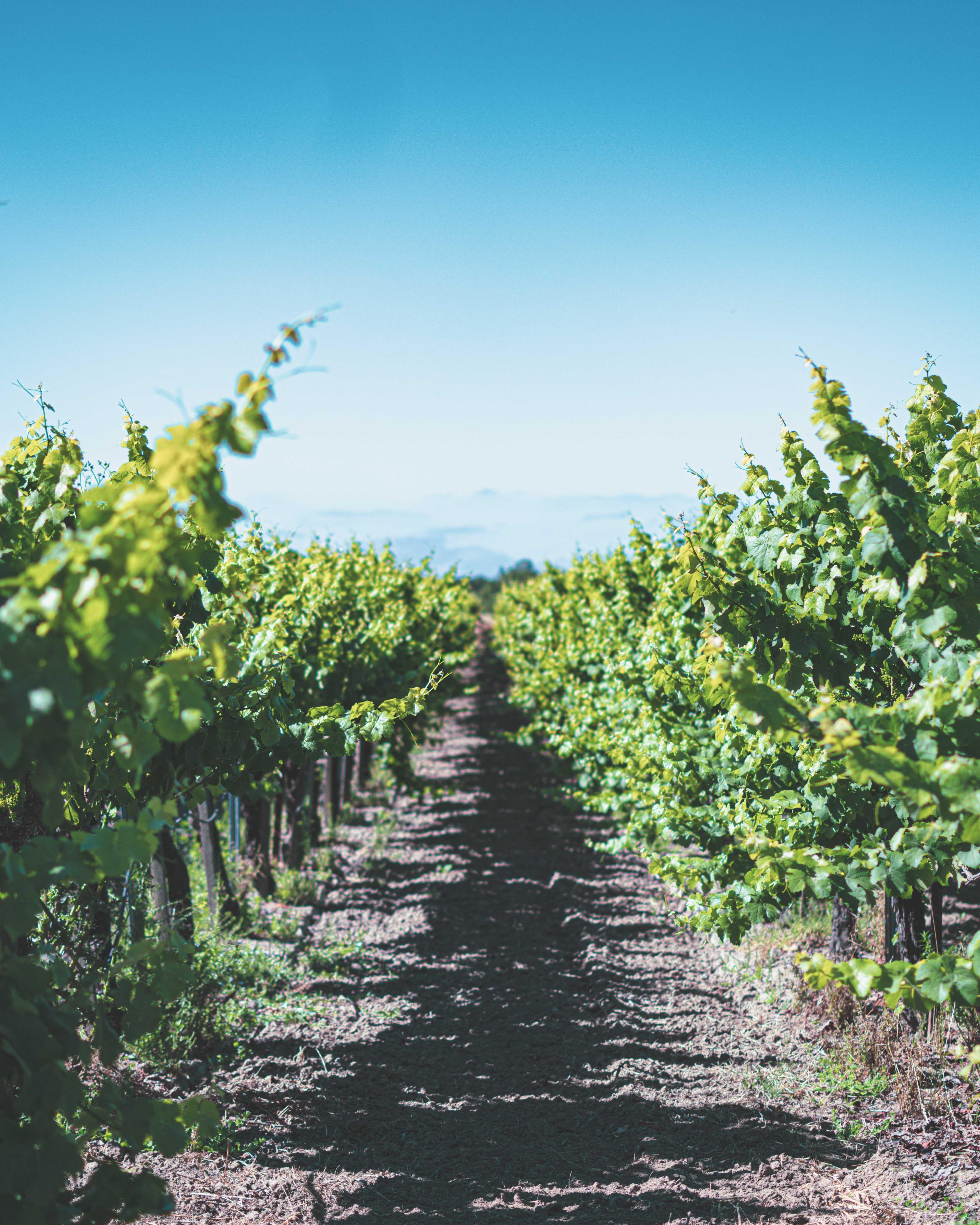 Fanucchi Road Vineyard
