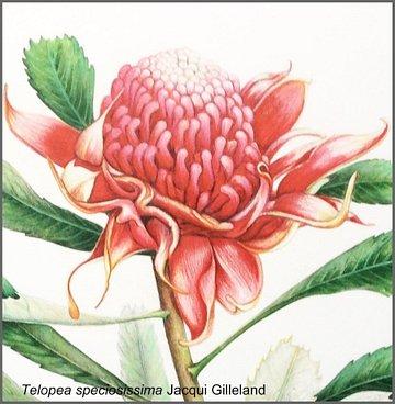 Telopea Speciesissima by Jacqui Gilleland