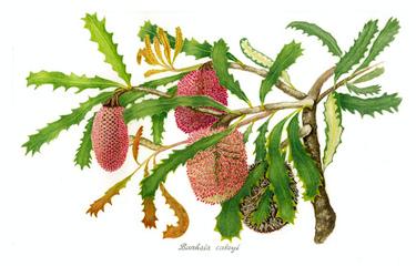 Banksia caleyi - Leonie Bubb
