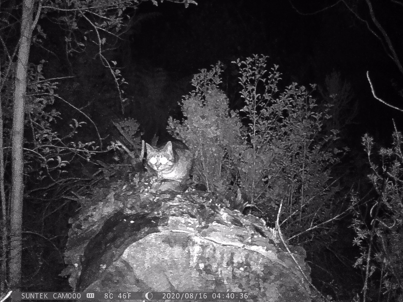 A feral cat sitting on a log in the dark of night