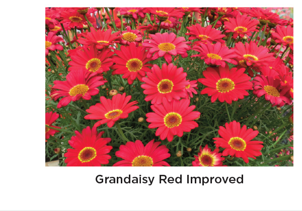 Grandaisy Red Improved