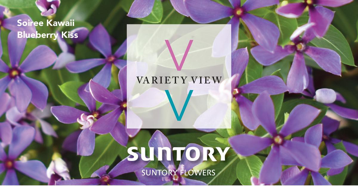 Suntory Flowers Variety View – Soiree Kawaii Blueberry Kiss