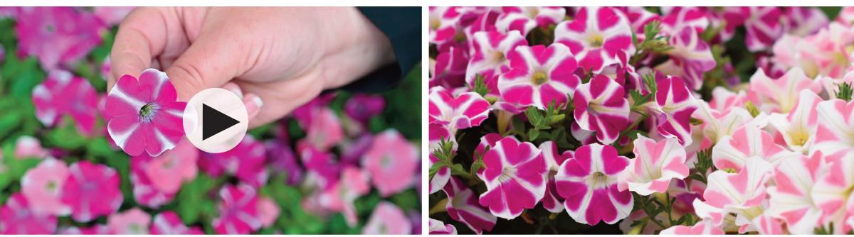 Petunias Surfinia Heartbeat and Purple Heart videos
