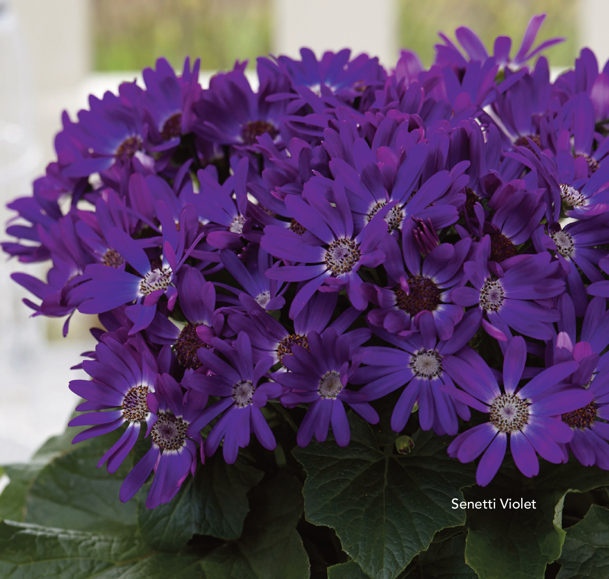 Senetti Violet is midsized in growth, in between the more vigorous Senetti Bicolors and more compact Sparkles.