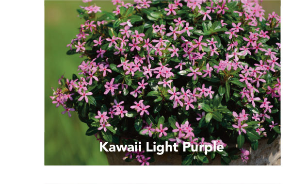 Soiree Kawaii Light Purple