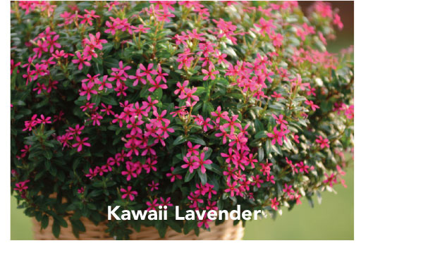 Soiree Kawaii Lavender