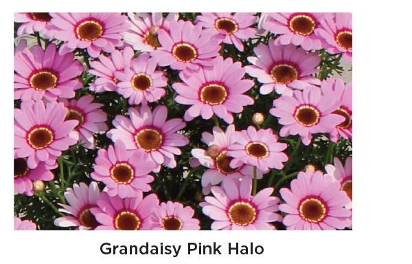 Grandaisy Pink Halo