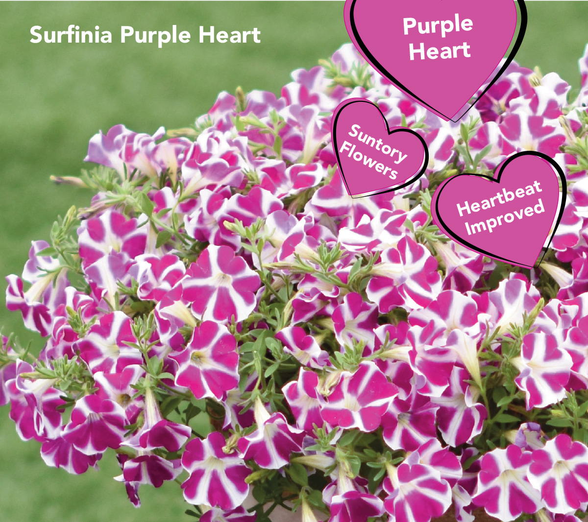Surfinia Purple Heart is the perfect companion to one of our top sellers Surfinia Heartbeat!
