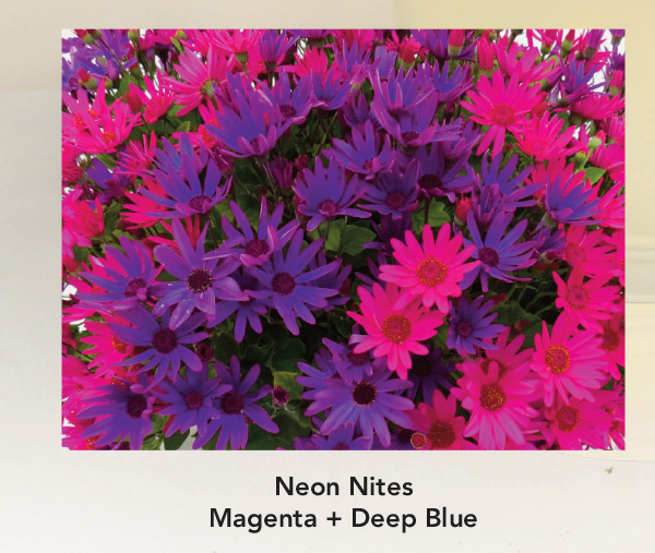 Neon Nites: Senetti Magenta and Deep Blue