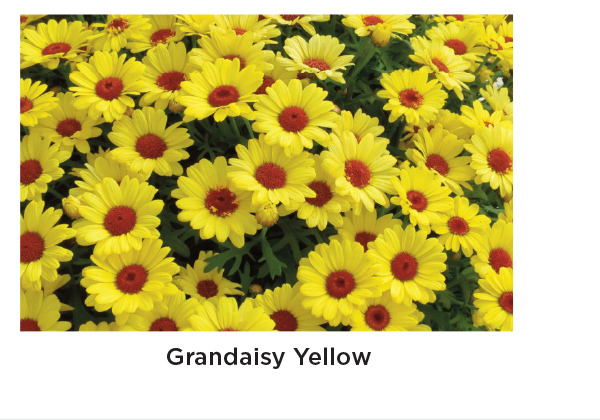 Grandaisy Yellow