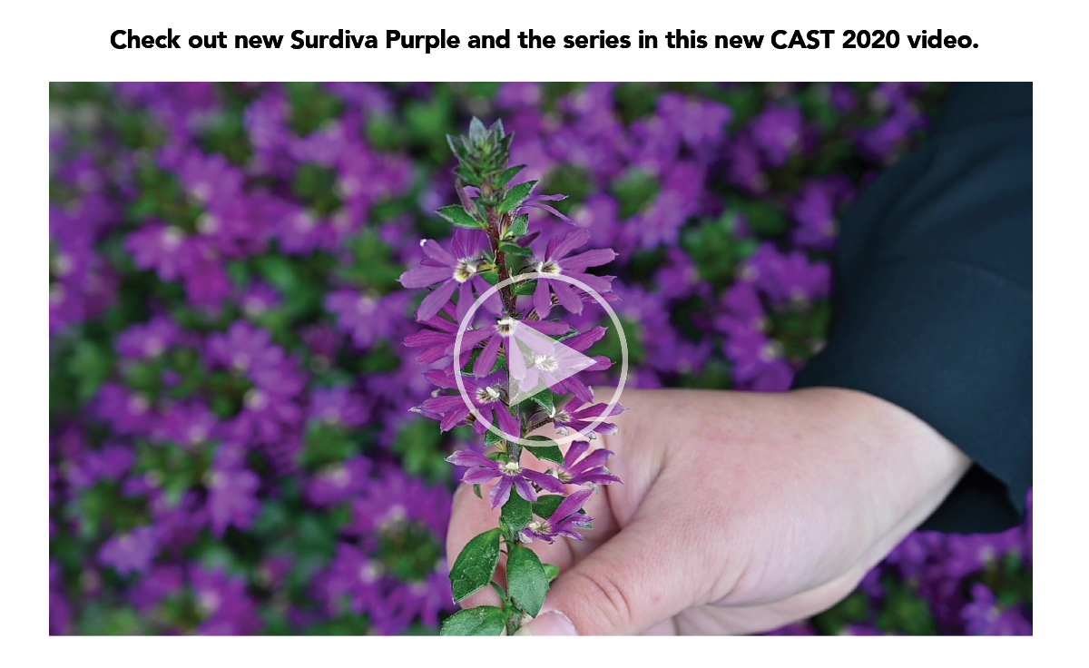 Check out new Surdiva Purple and the series in this new CAST 2020 video