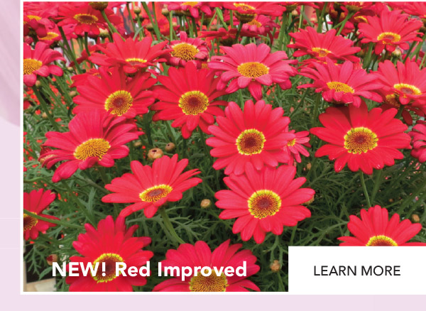Grandaisy Red Improved - NEW!