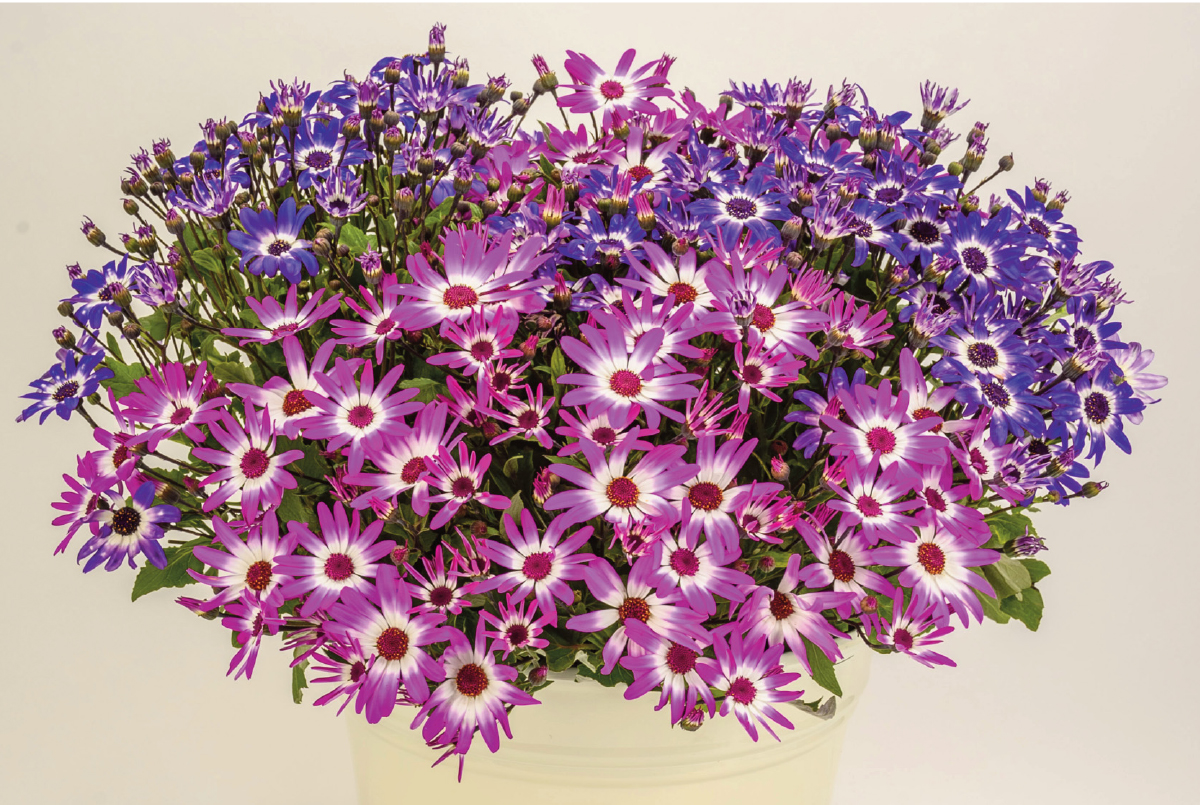 Suntory Flowers Senetti collection