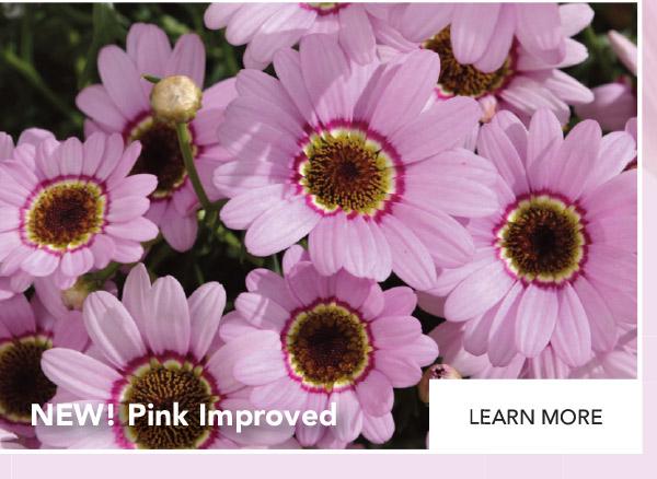 Grandaisy Pink Improved - NEW!