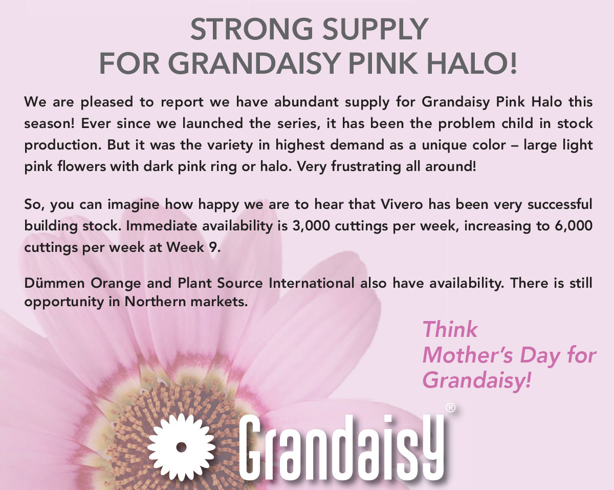 STRONG SUPPLY FOR GRANDAISY PINK HALO!