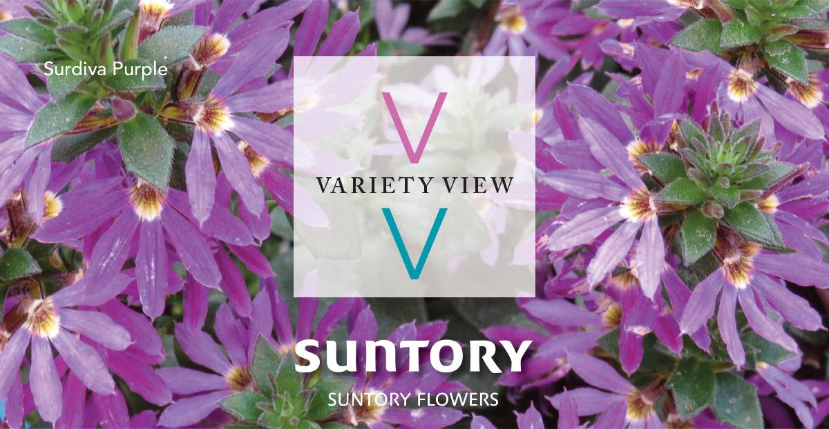 Suntory Flowers Variety View – Cast Countdown: Surdiva Purple