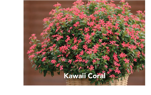 Soiree Kawaii Coral