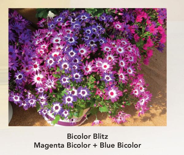 Bicolor Blitz: Senetti Magenta Bicolor and Blue Bicolor