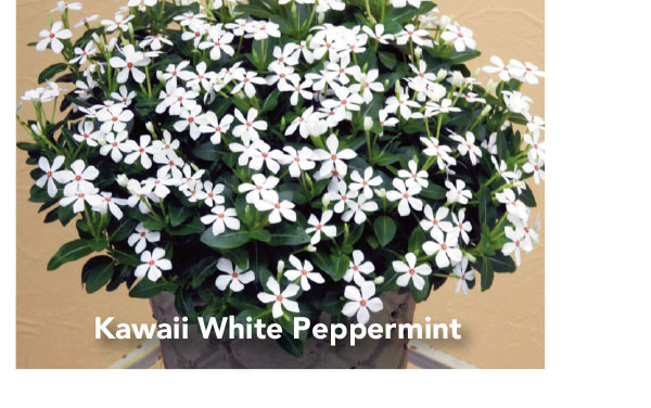 Soiree Kawaii White Peppermint