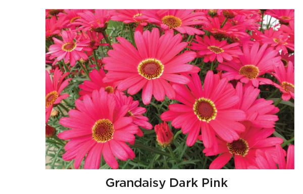 Grandaisy Dark Pink