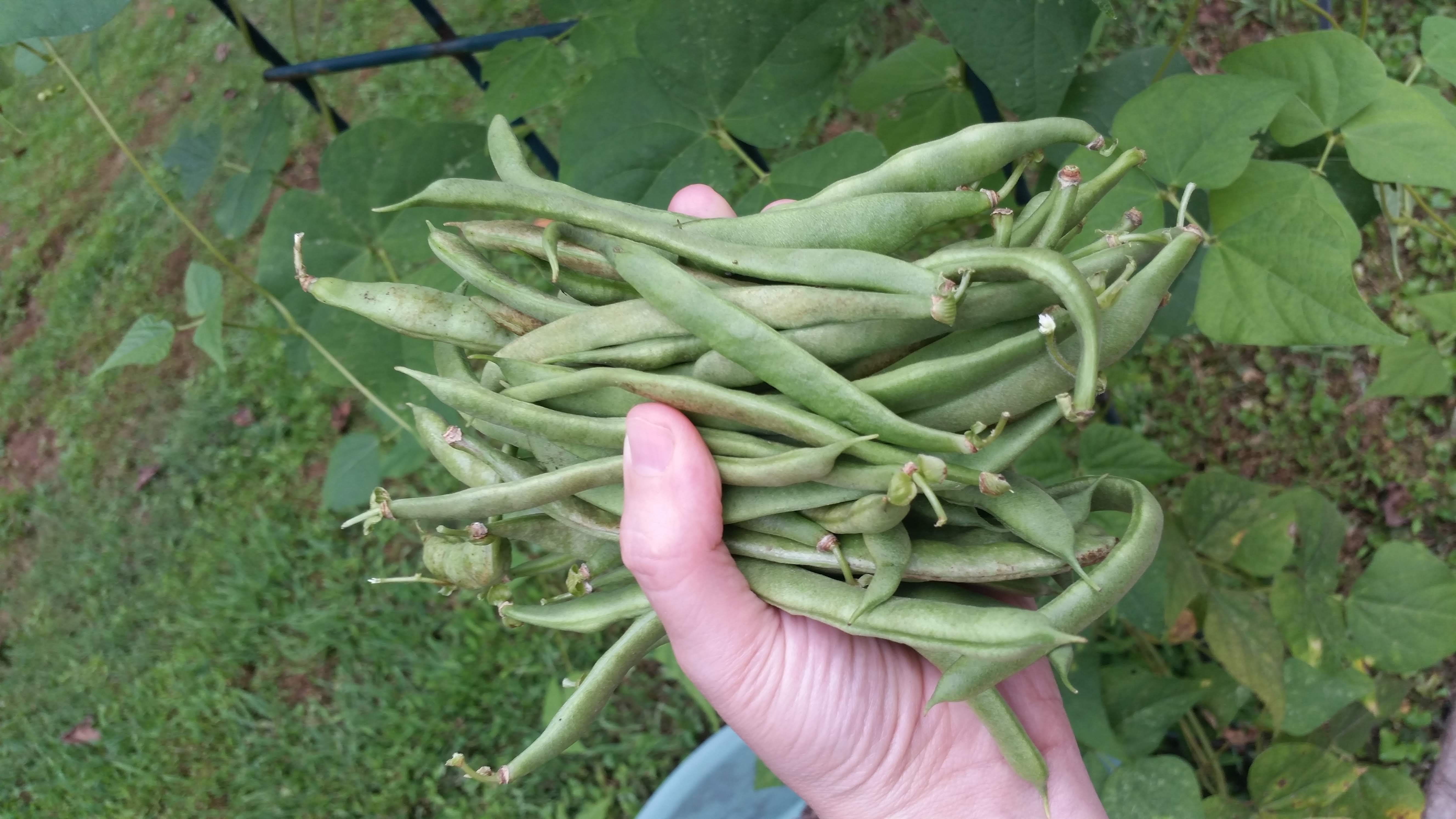 Green Beans from garden