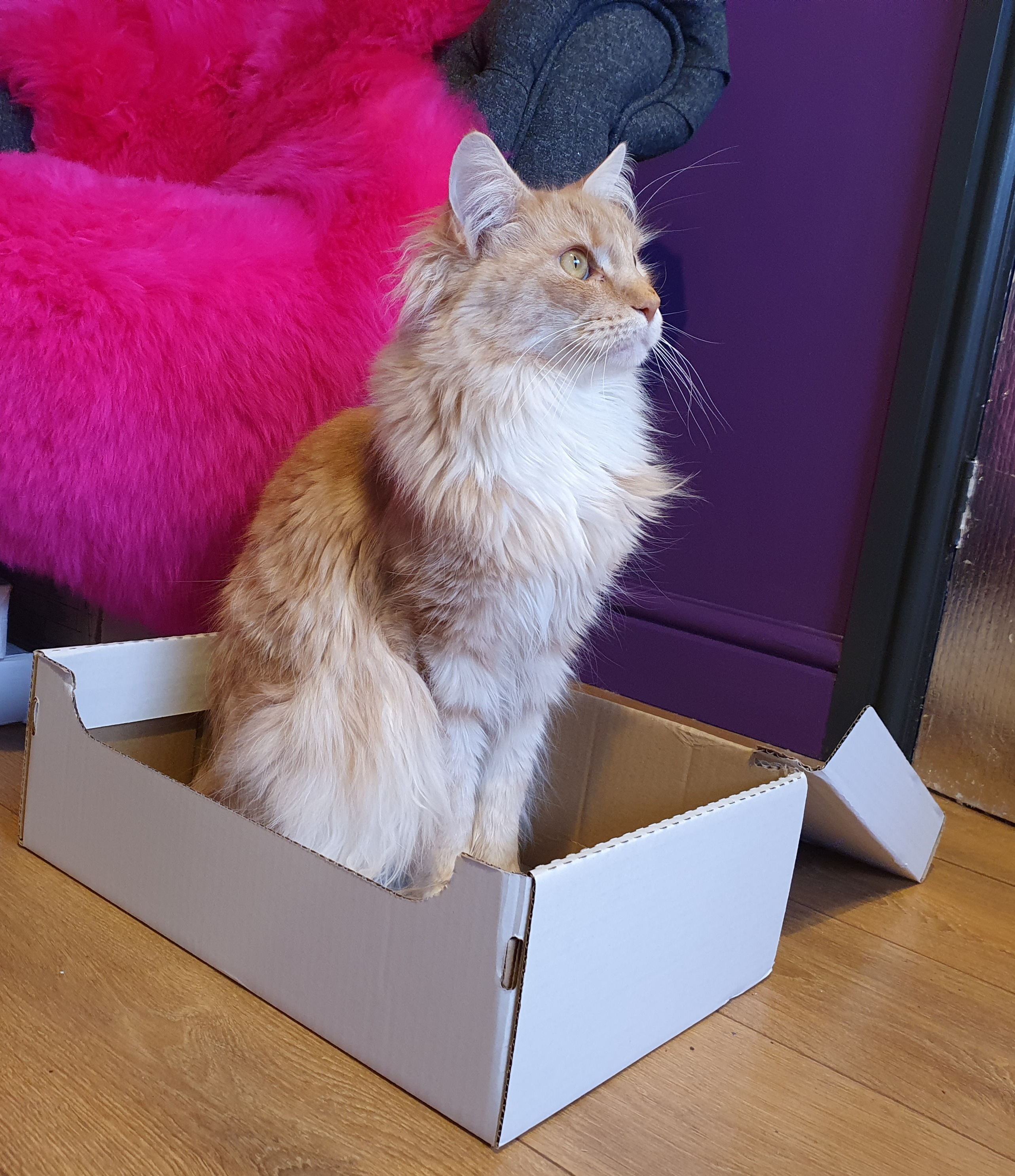 A ginger maine coon cat sat in a shoe box, looking to one side.