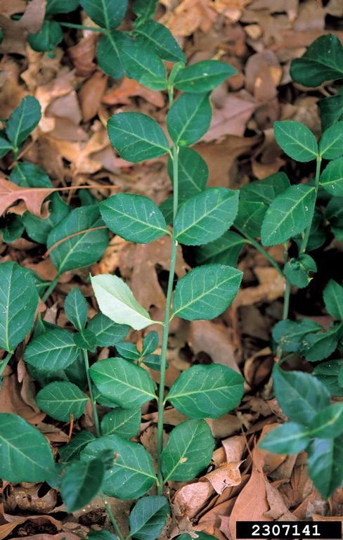 wintercreeper vine