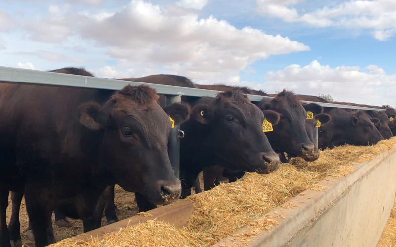 8,000 head Wagyu dedicated feedlot almost complete in Finley NSW