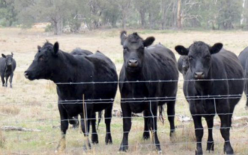 Australian F1 Wagyu cattle premiums on AuctionsPlus have recovered to a level of 80% above the national feeder steer indicator.