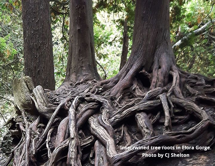 Tree Roots in Elora Gorge Park