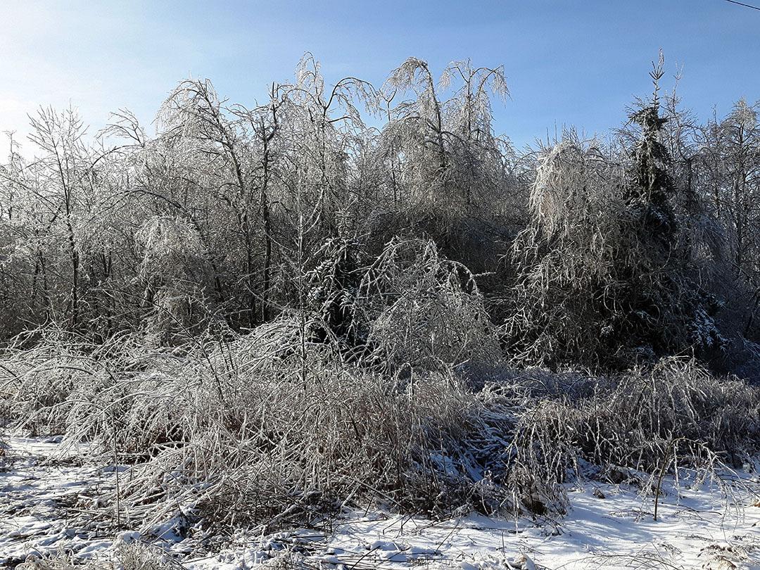 Ice Encased Trees by CJ Shelton
