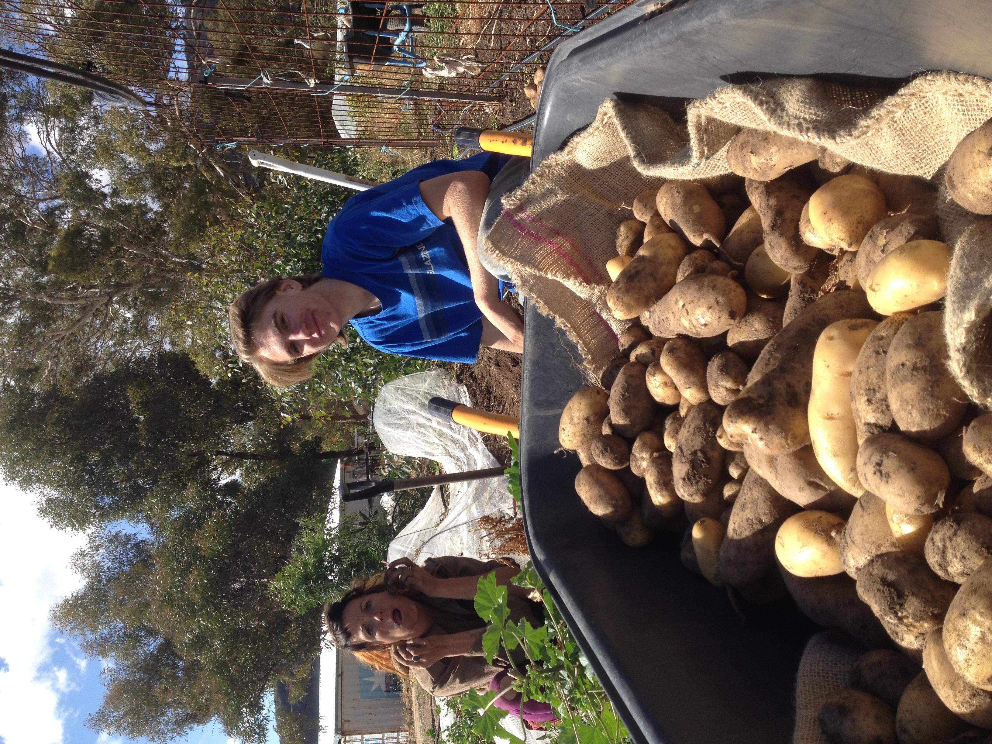 Cohen and Mel harvesting spuds