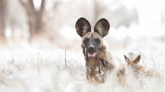 Wild dogs at Machaba Safaris