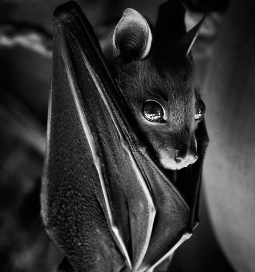 Bats Comprise One Fifth of Mammals on the Planet