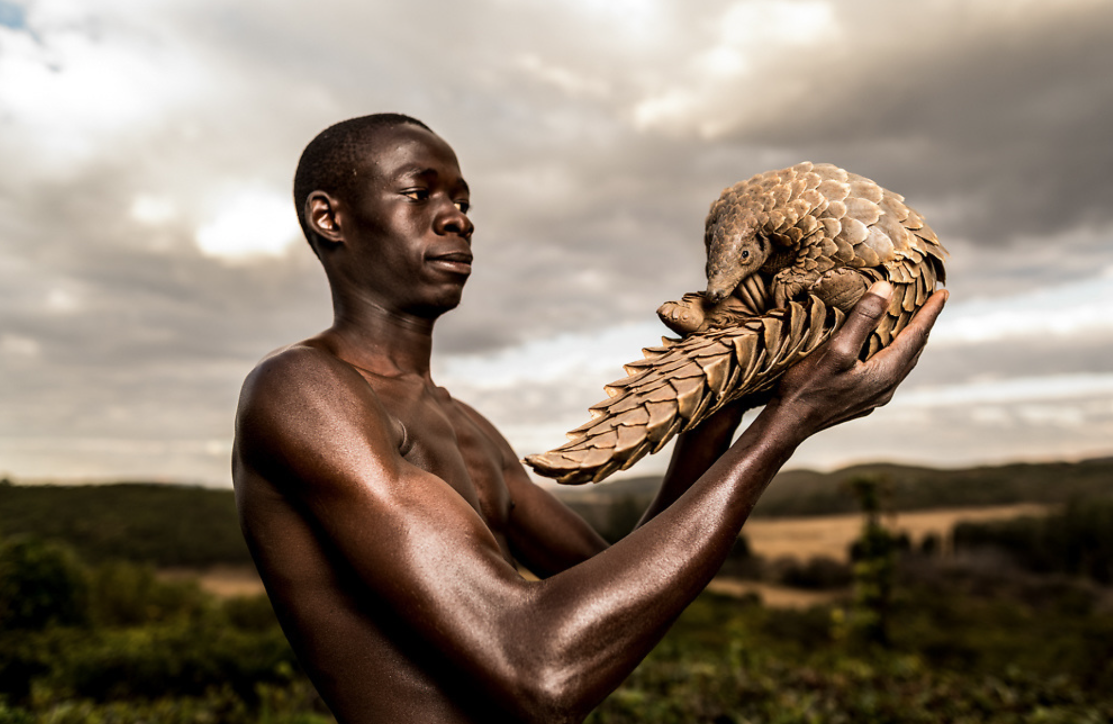 Rescued Pangolins Require Specialized One-on-one Care to be Re-habilitated and Returned to the Wild