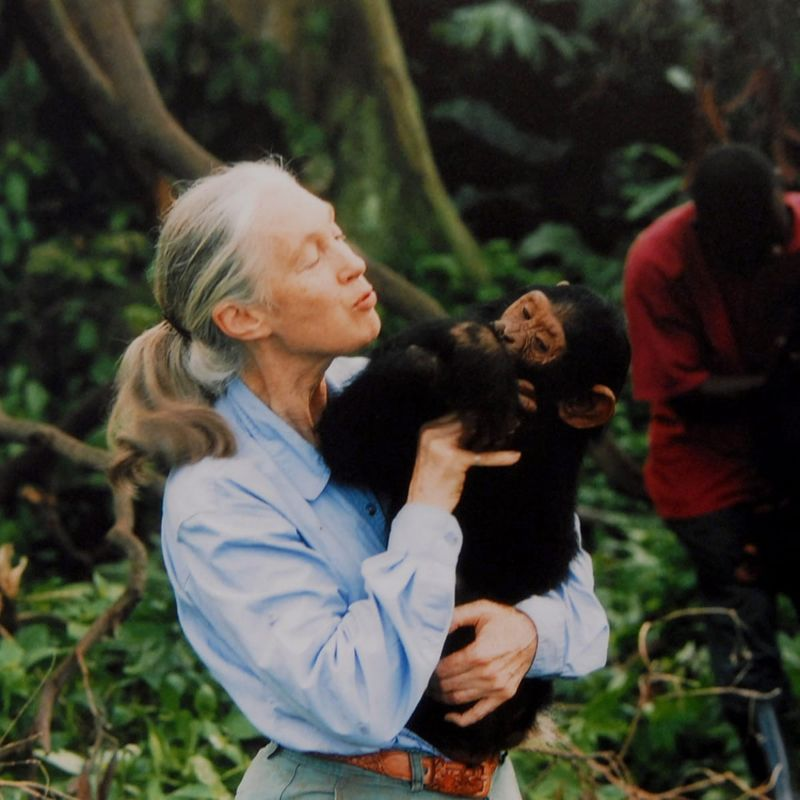 Jane Goodall holding a chimpanzee