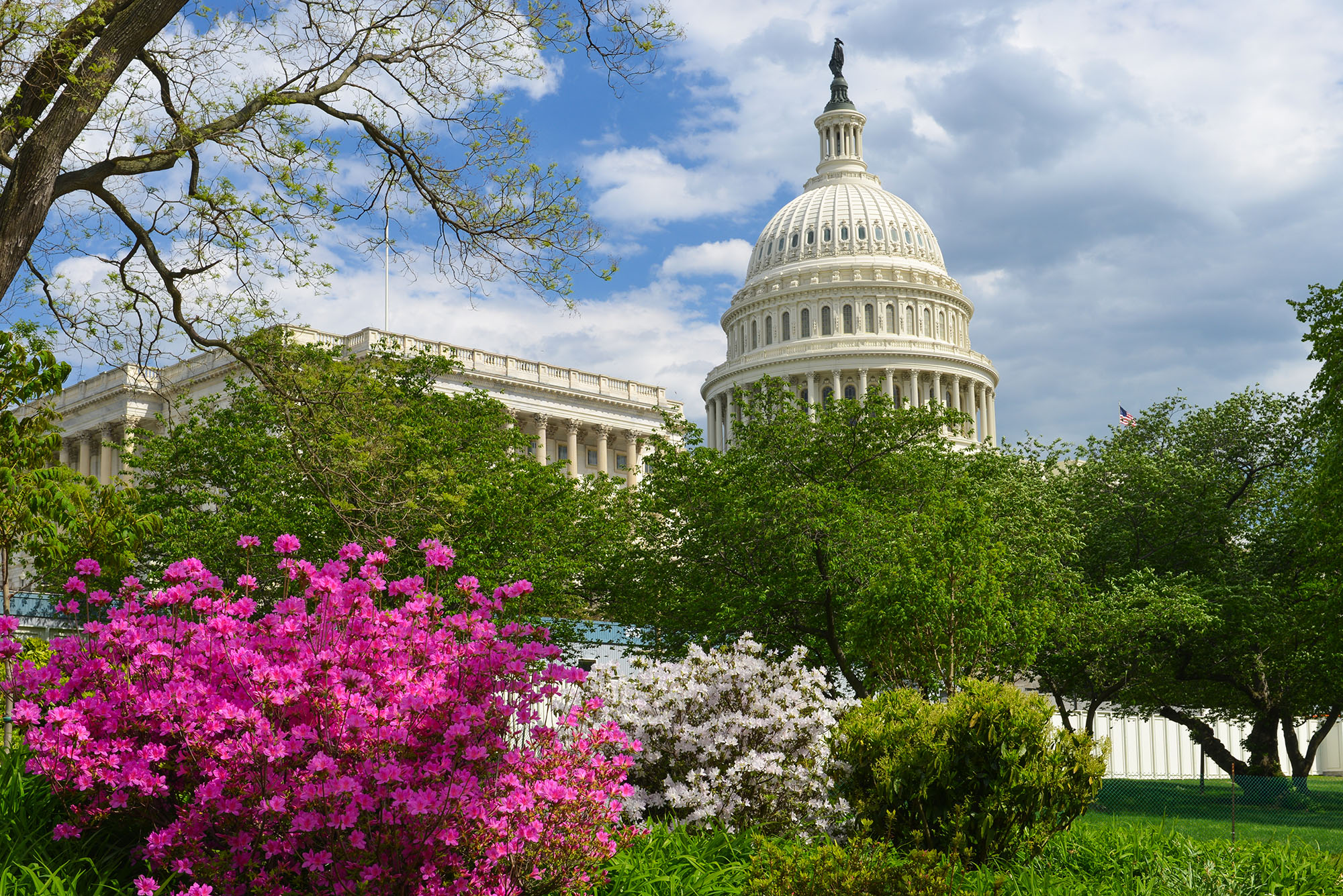 The Capitol building behind green trees and purple and white flowering bushes