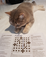 Image: Rosy the British Blue puzzles over Barbara's Cryptic