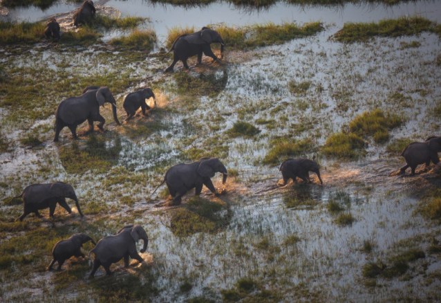 Elephants walking across a watery landscape.