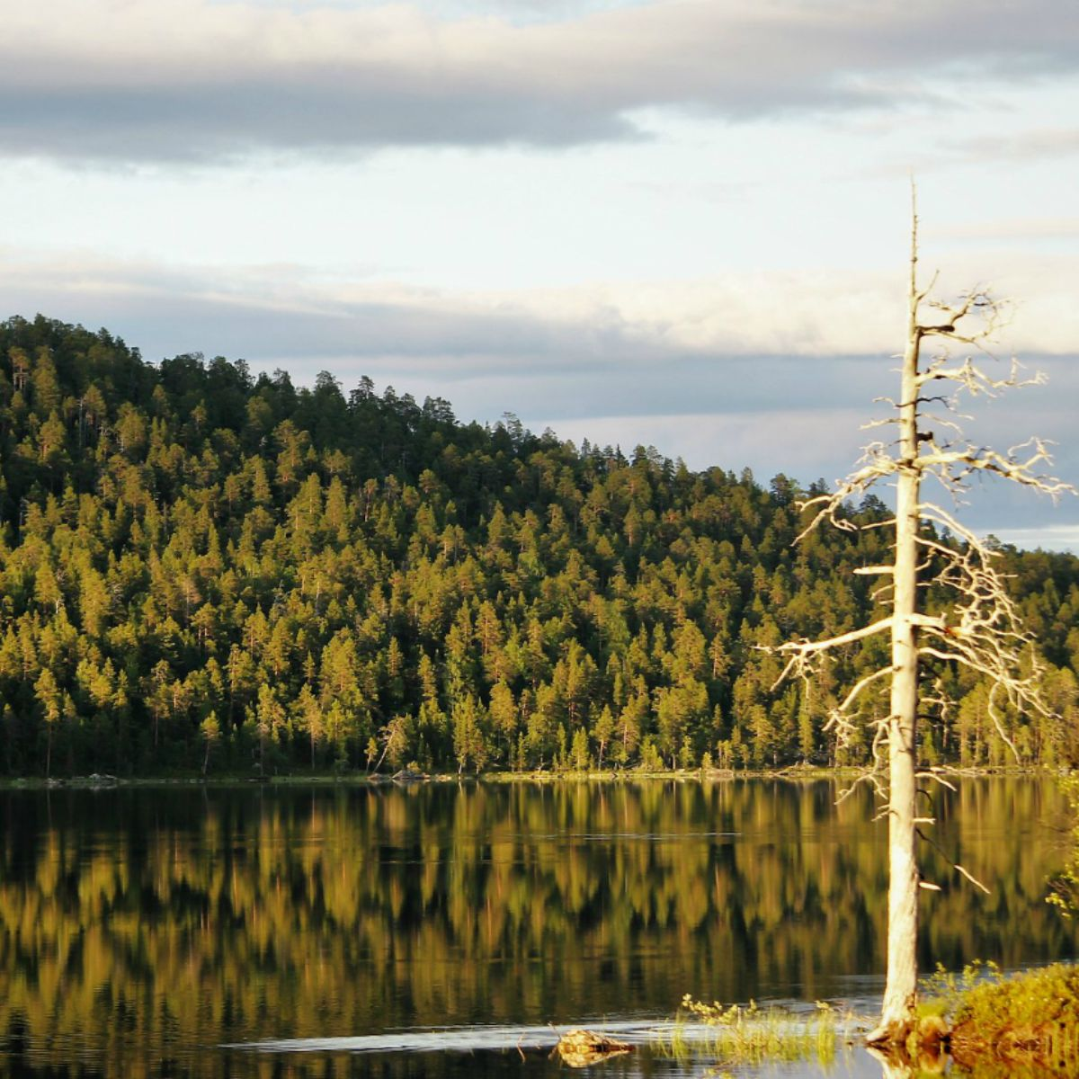 A forest alongside Lake Inari, in Finland. Finland has pledged to be carbon free by 2035 through sustainable forest use (Photo: Ilkka Jukarainen, via Flickr, CC BY-ND 2.0)