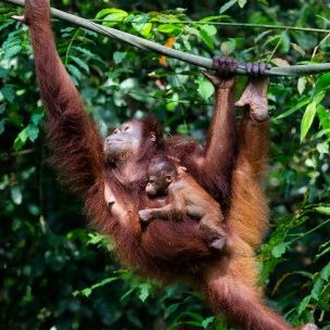 A baby orangutan clings to its mother. IIED's biocredits system learned from the Malua BioBank, which sought to generate commercial incentives for biodiversity conservation to compete against alternative land uses, and supported wild orangutans in Malaysia (Photo: Sascha Wenninger, via Flickr, CC BY-SA 2.0)
