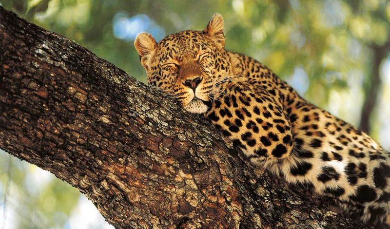 Luipaard in Zuid-Afrika