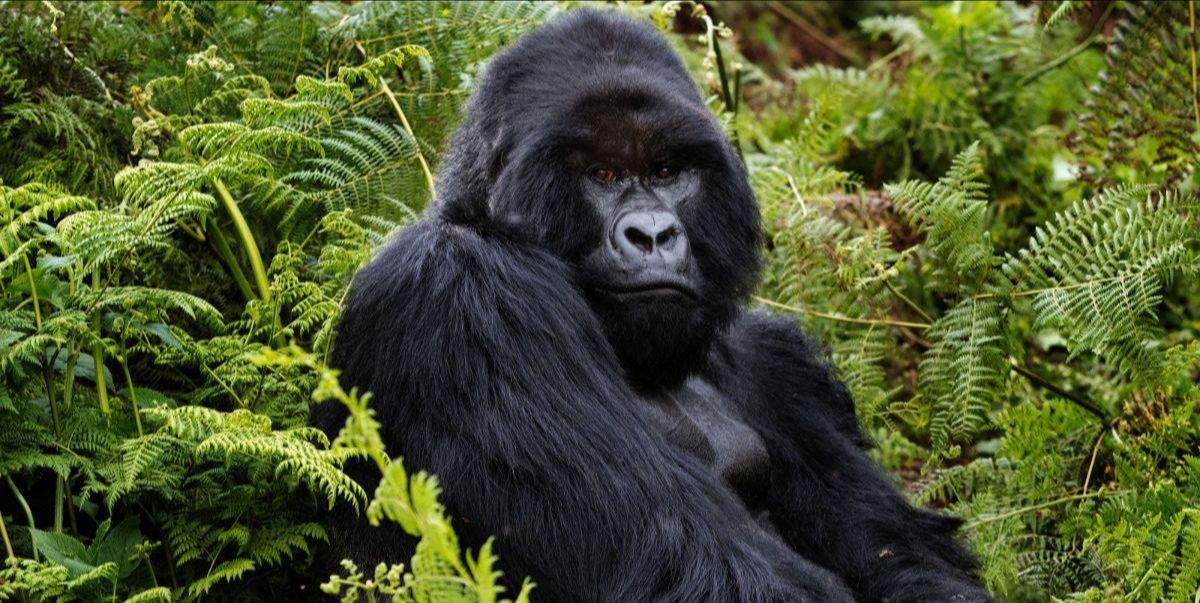 Gorilla in Volcanoes National Park